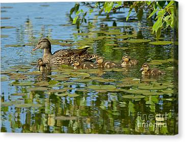 Mallard Mom And The Kids Canvas Print by Sharon Talson