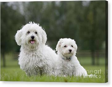 Maltese Dog With Puppy Canvas Print by Johan De Meester