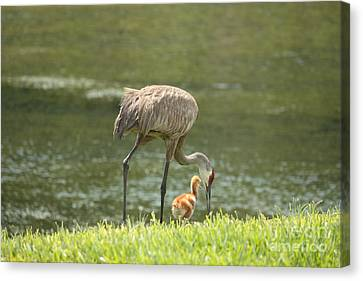 Mama And Chick Canvas Print by Carol Groenen