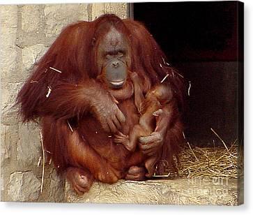 Mama N Baby Orangutan - 54 Canvas Print by Gary Gingrich Galleries