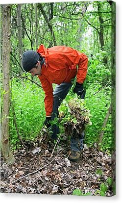 Man Removing Invasive Plants Canvas Print by Jim West