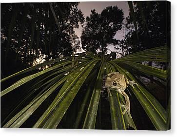 Manaus Slender-legged Treefrog Canvas Print by Cyril Ruoso