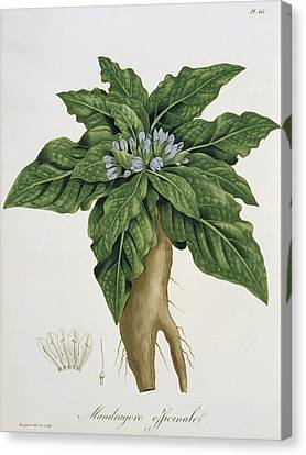Mandragora Officinarum Canvas Print by LFJ Hoquart