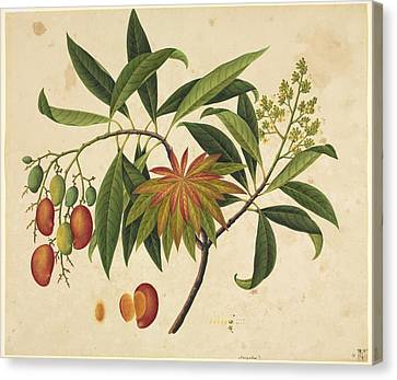 Mangifera Indica, 19th-century Artwork Canvas Print by Science Photo Library