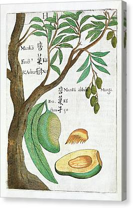 Mango Tree And Fruit Canvas Print by Natural History Museum, London