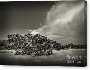Mangrove At Low Tide Canvas Print by Marvin Spates