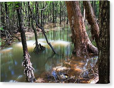 Mangrove Trees Canvas Print by Ashley Cooper