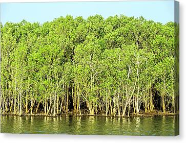 Mangrove Trees Canvas Print by Peter Chadwick