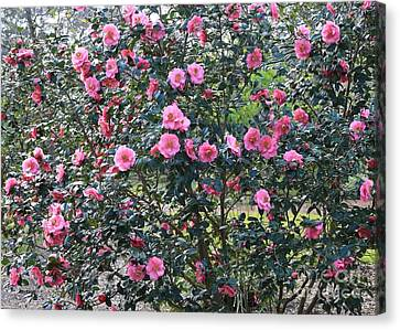 Many Pink Camellias Canvas Print by Carol Groenen