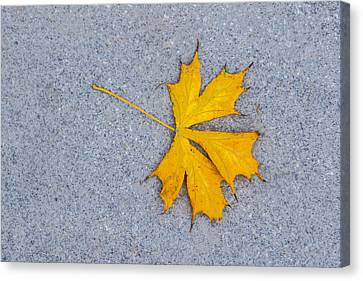 Maple Leaf On Granite 5 Canvas Print by Alexander Senin