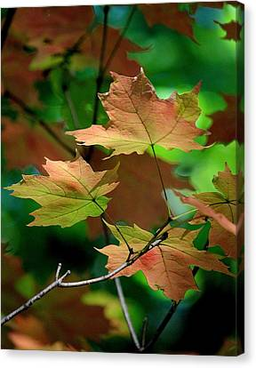 Maple Leaves In The Shadows Canvas Print by Rosanne Jordan