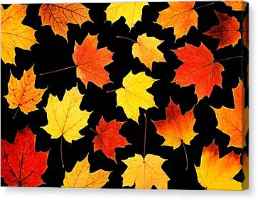 Maple Leaves On Black Canvas Print by Jim Hughes