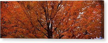 Maple Tree In Autumn, Vermont, Usa Canvas Print by Panoramic Images