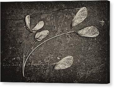Maple Tree Whirlybirds Canvas Print by Tom Mc Nemar