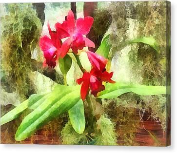 Maroon Cattleya Orchids Canvas Print by Susan Savad