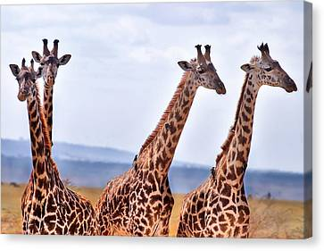 Masai Giraffe Canvas Print by Adam Romanowicz