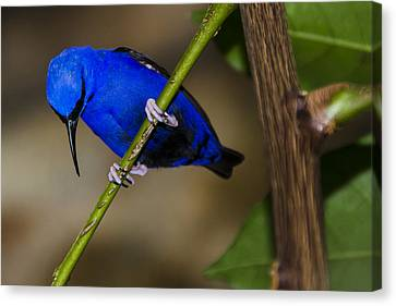 Masked Blue Bird Canvas Print by Penny Lisowski