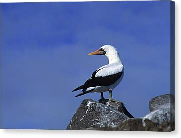 Masked Booby Bird Canvas Print by Thomas Wiewandt