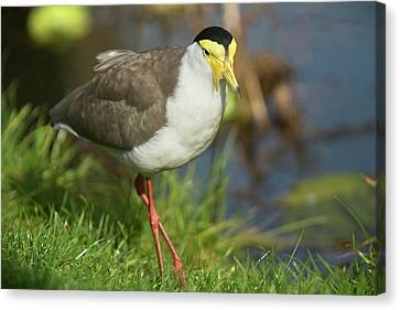 Masked Lapwing Canvas Print by Bob Gibbons