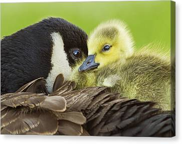 Maternal Love Canvas Print by Mircea Costina Photography