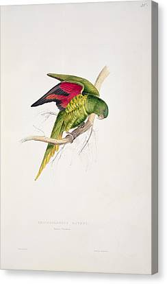 Matons Parakeet Canvas Print by Edward Lear