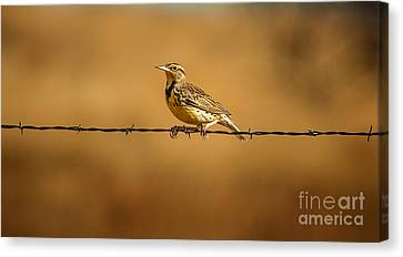 Meadowlark And Barbed Wire Canvas Print by Robert Frederick