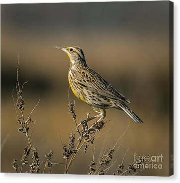 Meadowlark On Weed Canvas Print by Robert Frederick