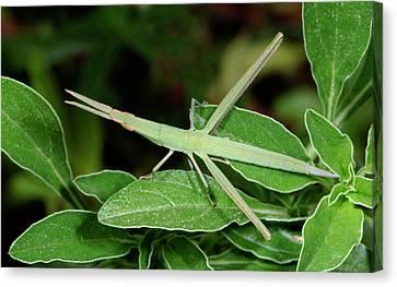 Mediterranean Slant-faced Grasshopper Canvas Print by Nigel Downer