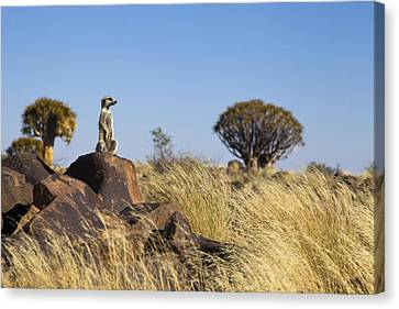 Meerkat In Quiver Tree Grassland Canvas Print by Vincent Grafhorst