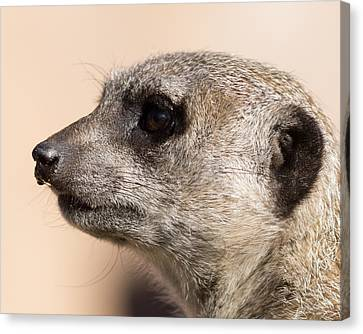 Meerkat Mug Shot Canvas Print by Ernie Echols