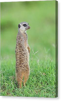 Meerkat Standing On Guard Duty Canvas Print by Peter Chadwick
