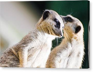 Meerkats Canvas Print by Daniel Kocian