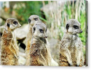 Meerkats Canvas Print by Heiti Paves