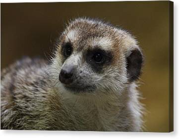 Meerket - National Zoo - 01136 Canvas Print by DC Photographer