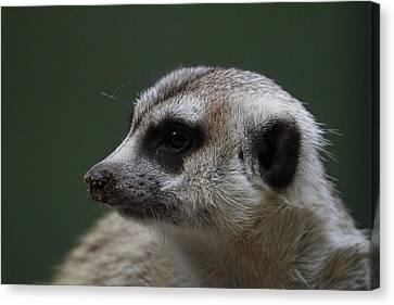 Meerket - National Zoo - 01137 Canvas Print by DC Photographer