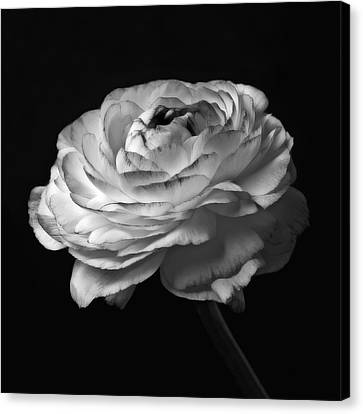 Black And White Roses Flowers Art Work Macro Photography Canvas Print by Artecco Fine Art Photography