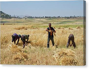 Men Harvesting Wheat Canvas Print by Photostock-israel