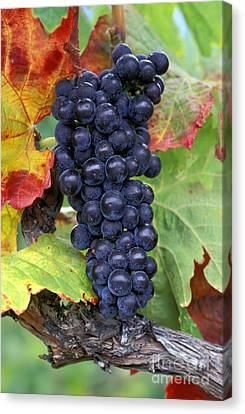 Merlot Grapes Canvas Print by Kevin Miller