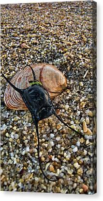 Mermaids Purse Canvas Print by Heather Applegate