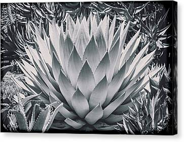 Mescal Agave Canvas Print by Kelley King