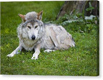 Mexican Gray Wolf Canvas Print by Sebastian Musial