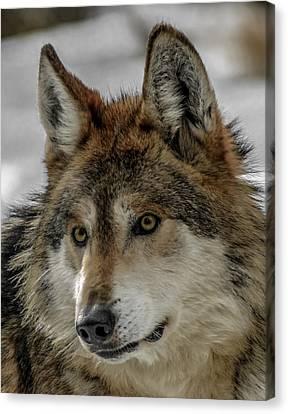 Mexican Grey Wolf Upclose Canvas Print by Ernie Echols
