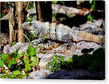 Mexican Iguana Canvas Print by Jason Politte