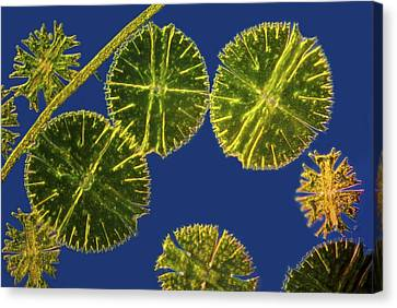 Micrasterias Desmids, Light Micrograph Canvas Print by Science Photo Library