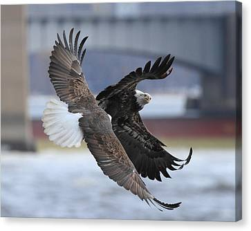 Mid Air Fight Canvas Print by Coby Cooper