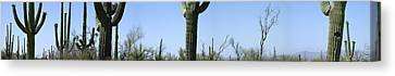 Mid Section View Of Cactus, Saguaro Canvas Print by Panoramic Images