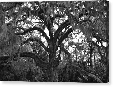 Mighty Oak Canvas Print by Kimberly Oegerle