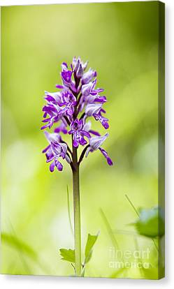Military Orchid Canvas Print by Tim Gainey