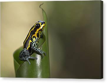 Mimic Poison Frog Amazon Peru Canvas Print by Cyril Ruoso