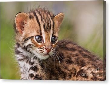 Miniature Leopard Canvas Print by Ashley Vincent